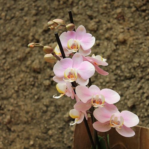 falenopsis-uxod-v-domashnix-usloviyax-posle-magazina-2