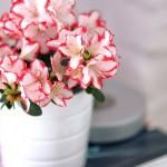 Азалия комнатная: уход в домашних условиях