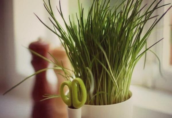 как посадить дома лук на зелень