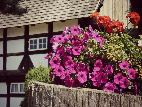 Как посадить петунию в домашних условиях