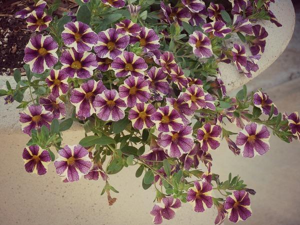 Как посадить рассаду петунии в домашних условиях