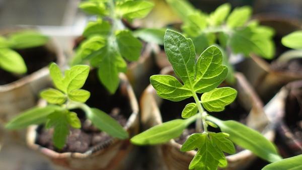 как посадить помидоры на рассаду правильно дома