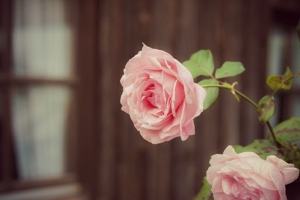 Как посадить розу в горшок в домашних условиях