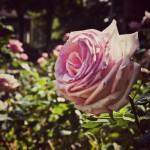 Как посадить розы из букета черенками в домашних условиях