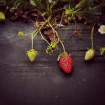 Как посадить клубнику в покрышках