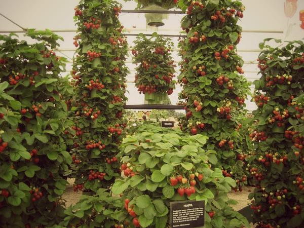 Как посадить клубнику вертикально