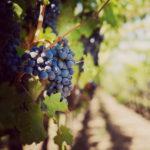 Как посадить виноград черенками в домашних условиях